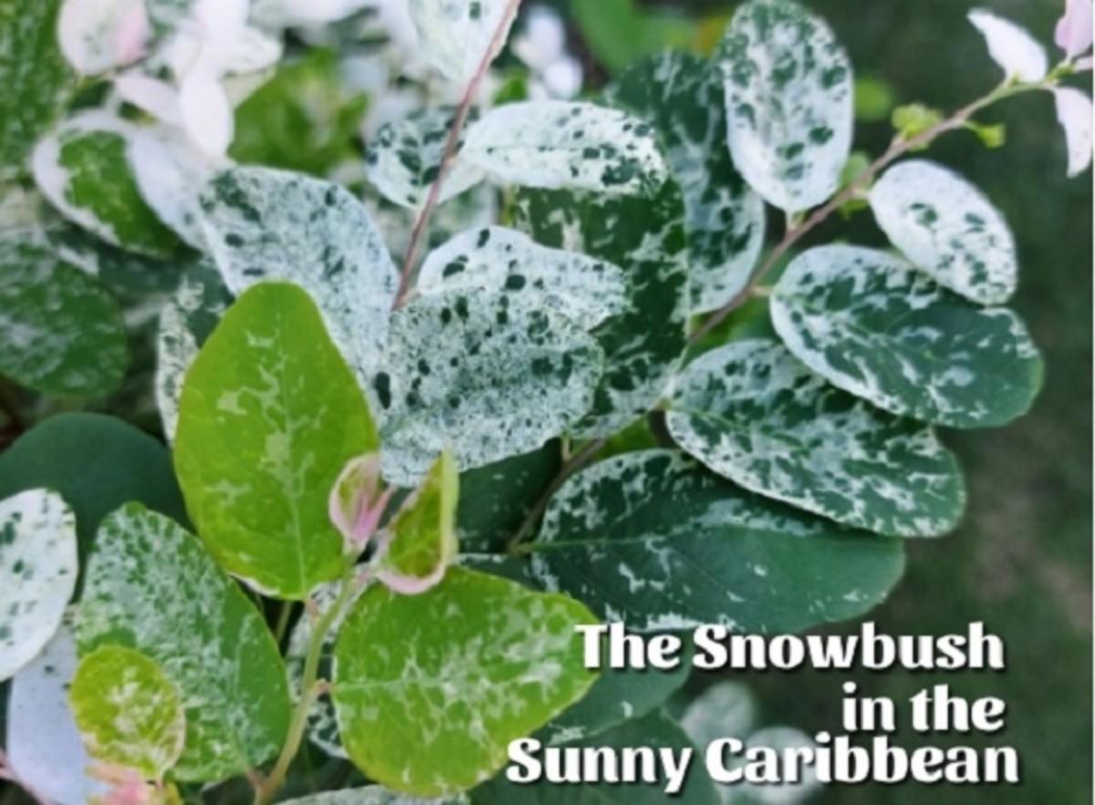 The Snowbush in the Sunny Caribbean: Facts, Care, and Uses