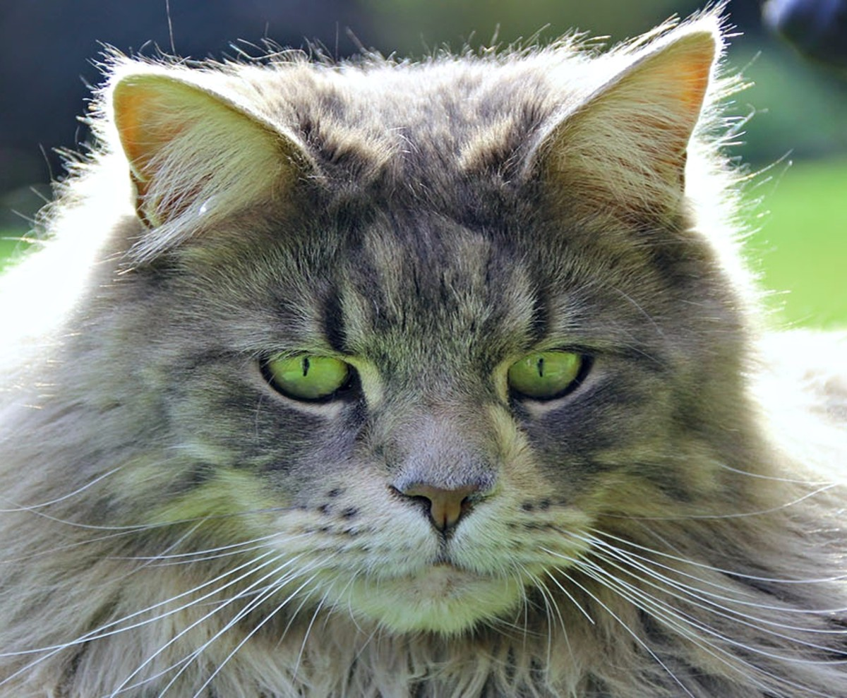 Green-eyed Maine Coon contemplates his new name.