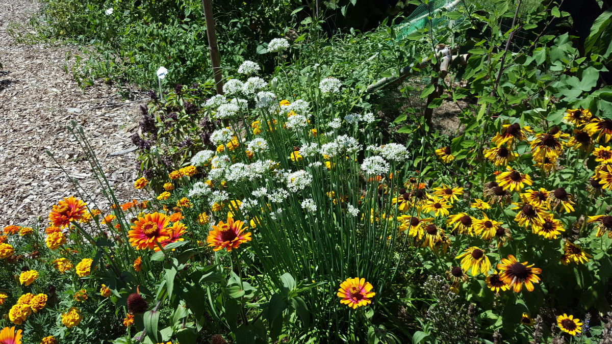 A garden of deer resistant flowers.  From left to right: marigolds, zinnias, garlic chives, Black-eyed Susans.