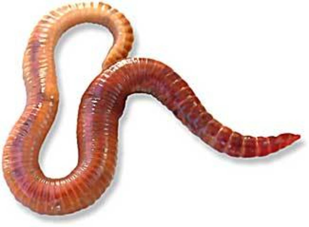 Red Wiggler worm(Eisenia Foetida)