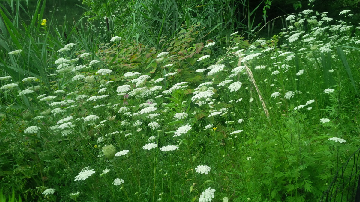 Wild Flowers: Queen Anne's Lace