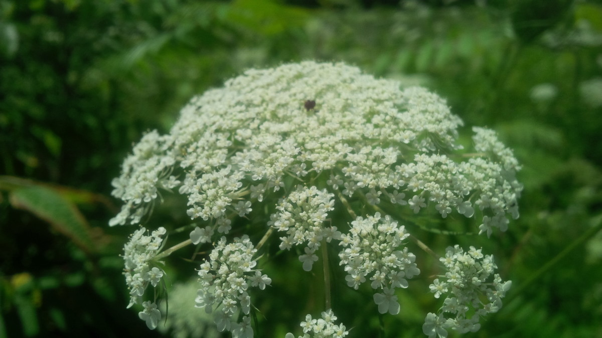 Queen Anne's Lace flower with characteristic purple center
