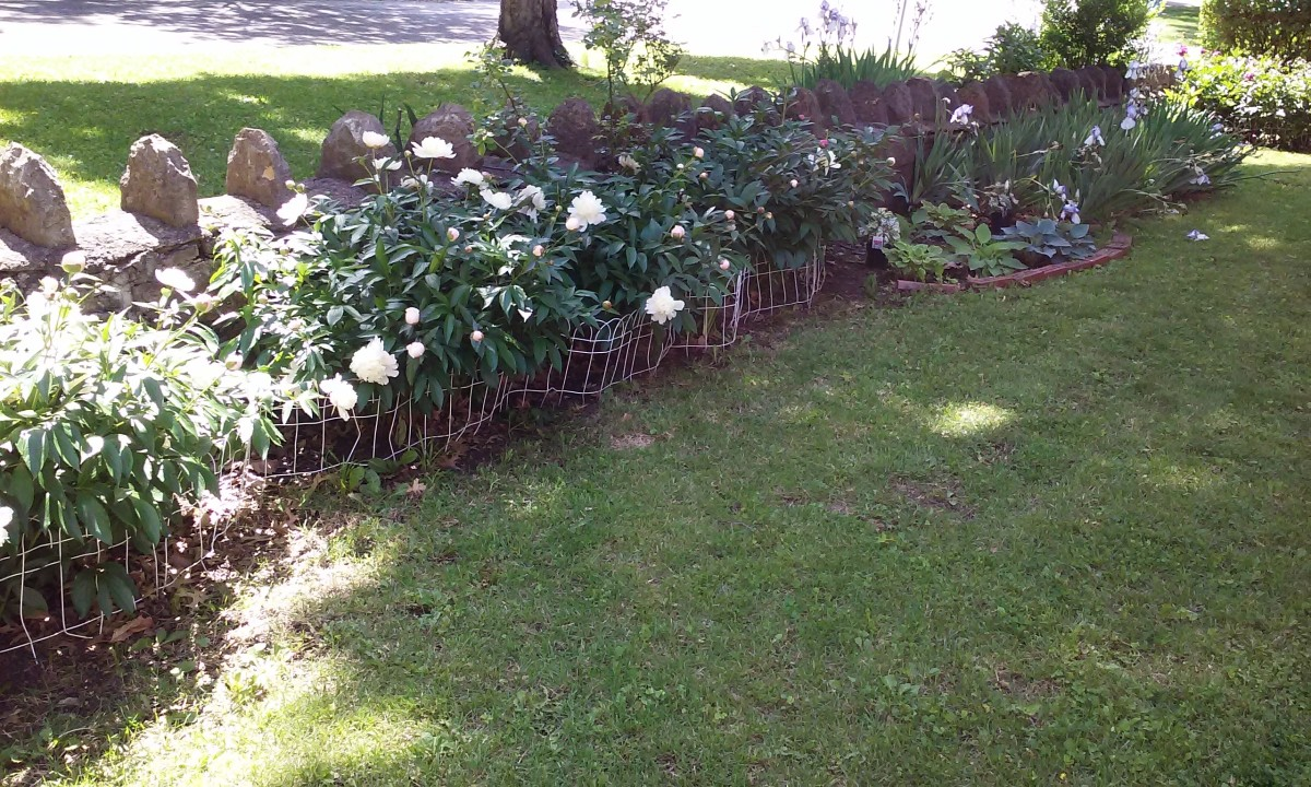 Peony flower bed against retaining wall.