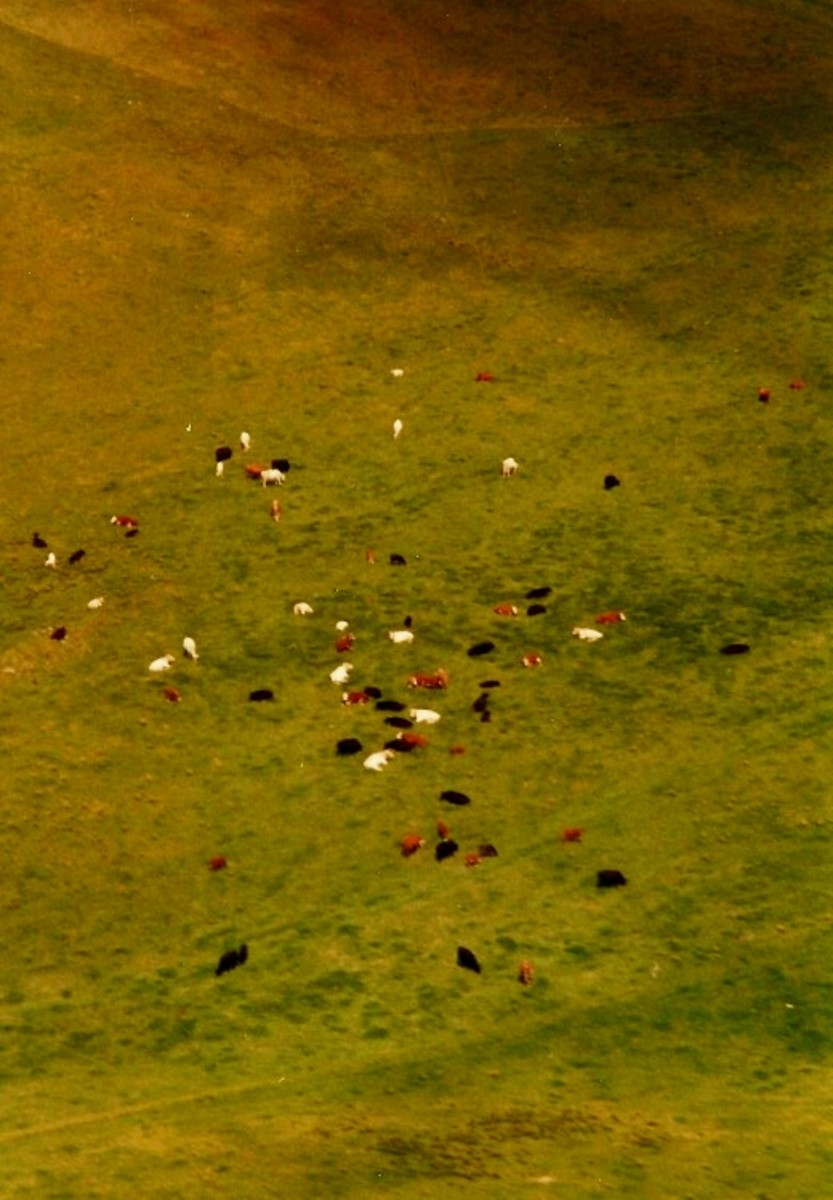 Arial view of the Parker Ranch with cattle below on Big Island of Hawaii
