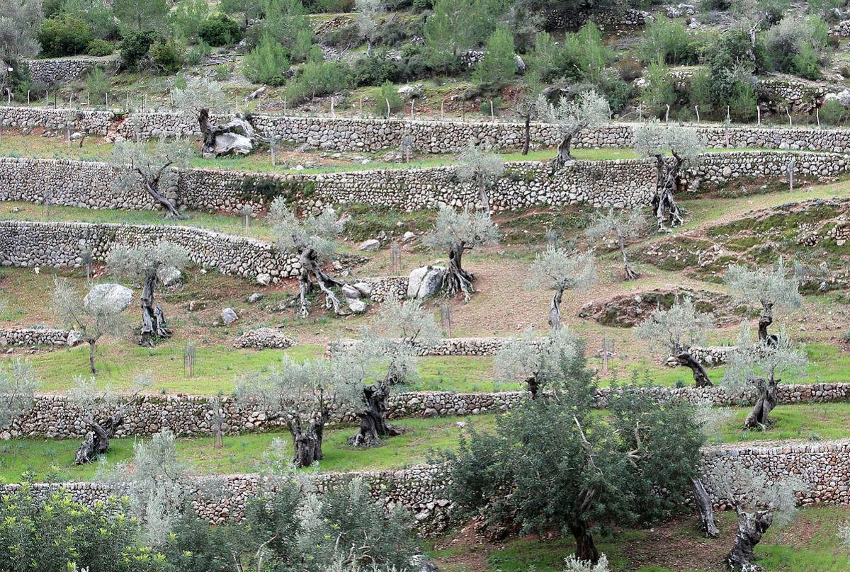 Olives growing on terraces. Picture taken near Valldemossa, Mallorca, Spain