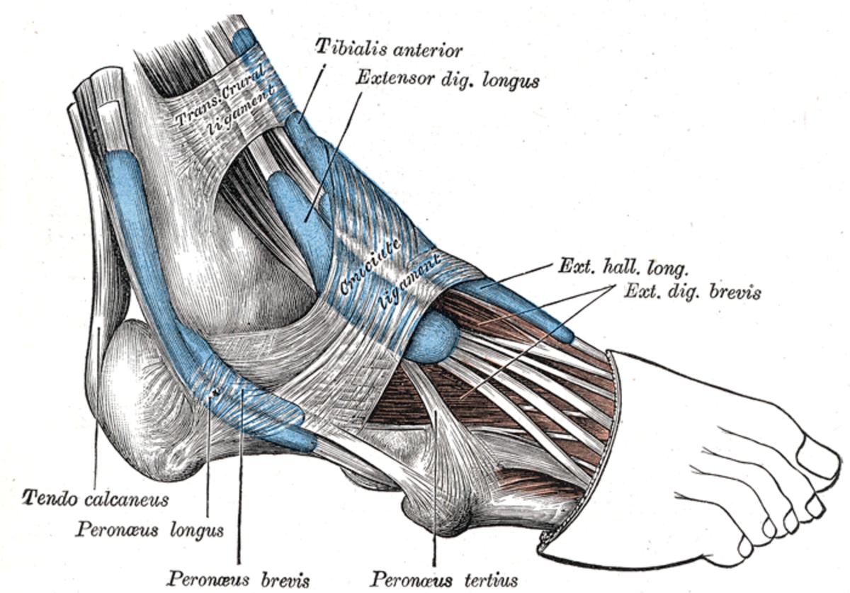 human-anatomy-lesson-26