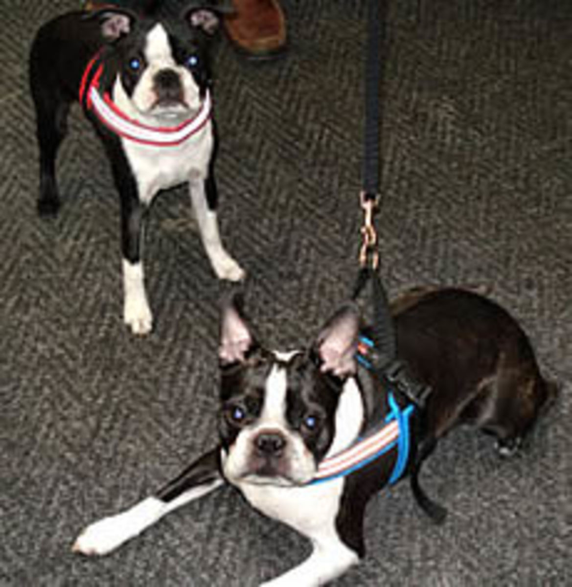 Winston and Frankie showing off their ComfortFlex Sport Harnesses