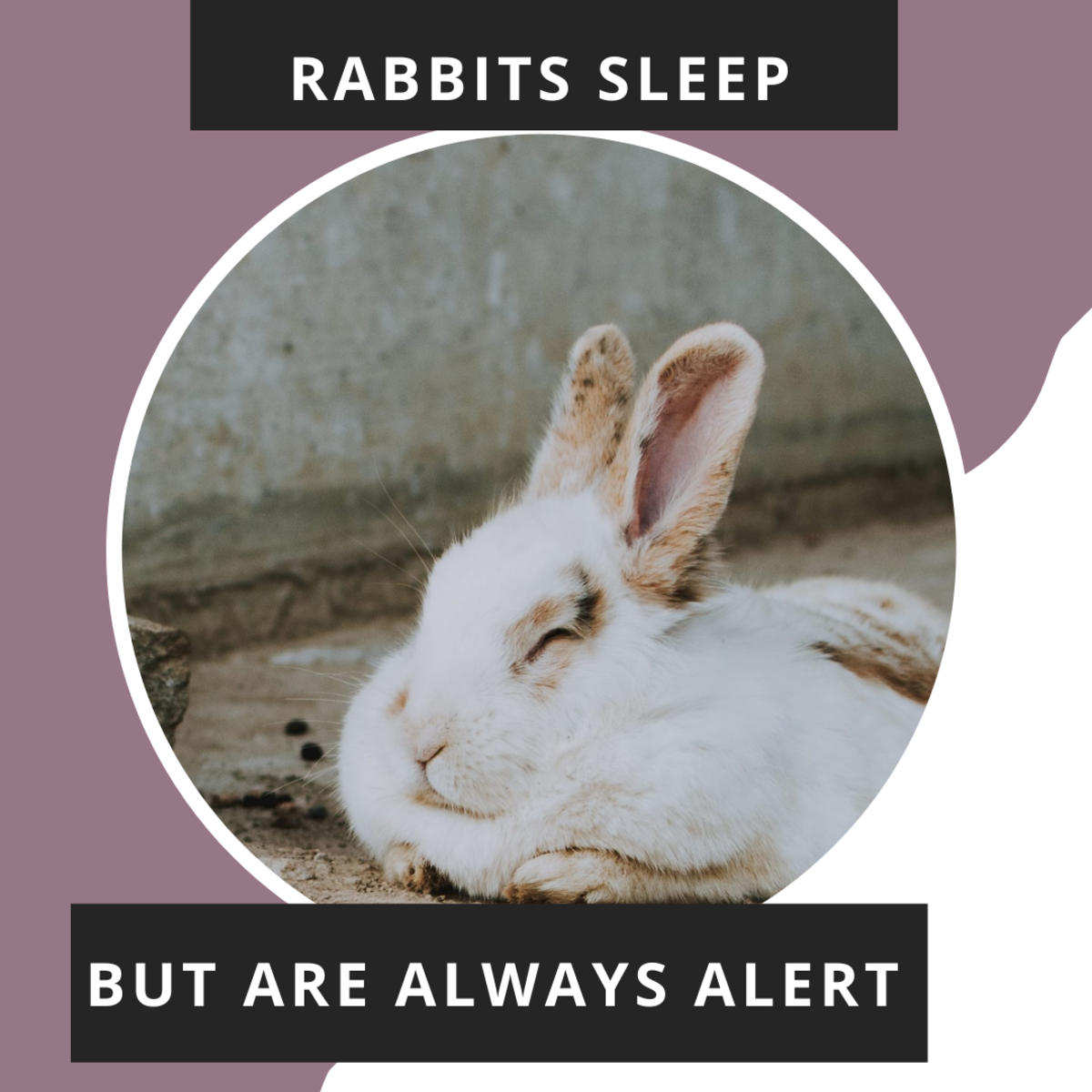 Rabbits fall asleep but also can wake up in an instant.