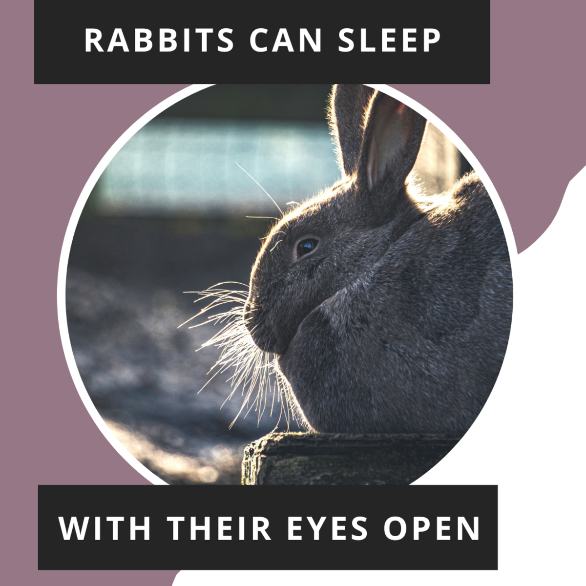 Rabbits are able to sleep with their eyes open.