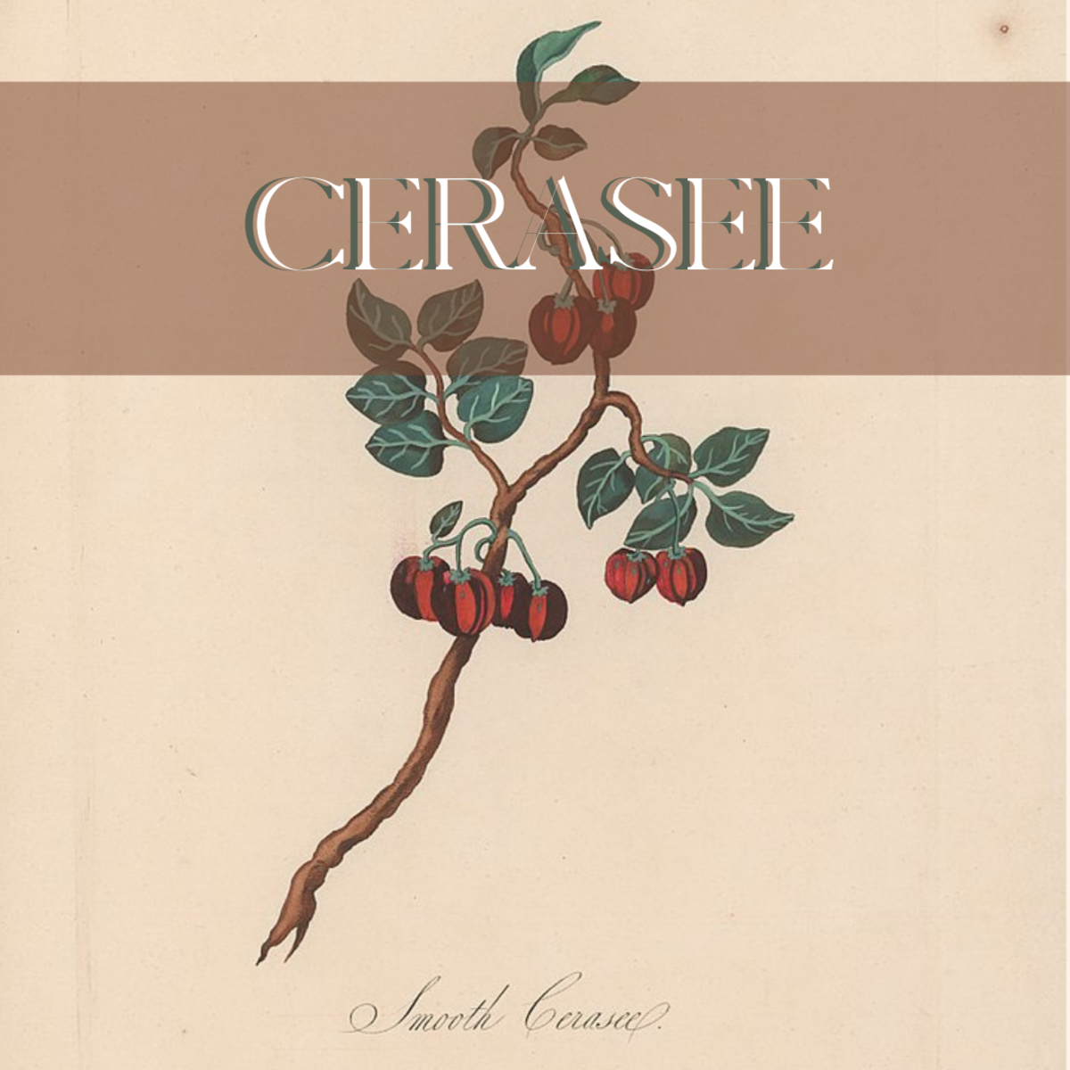 A Botanical Drawing of Cerasee