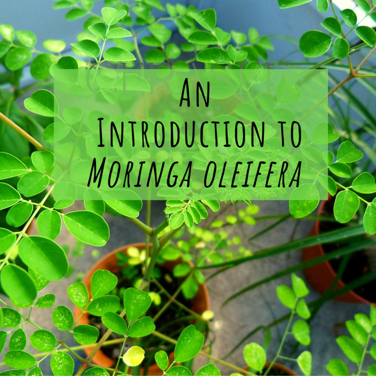 An introduction to the superfood Moringa o.
