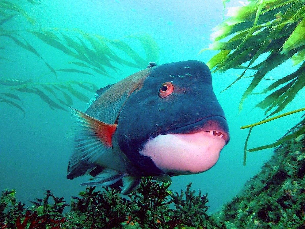 A male California sheephead