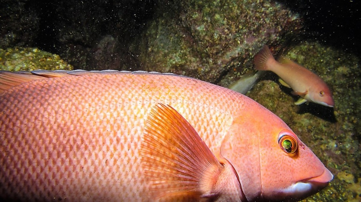 A female California sheephead