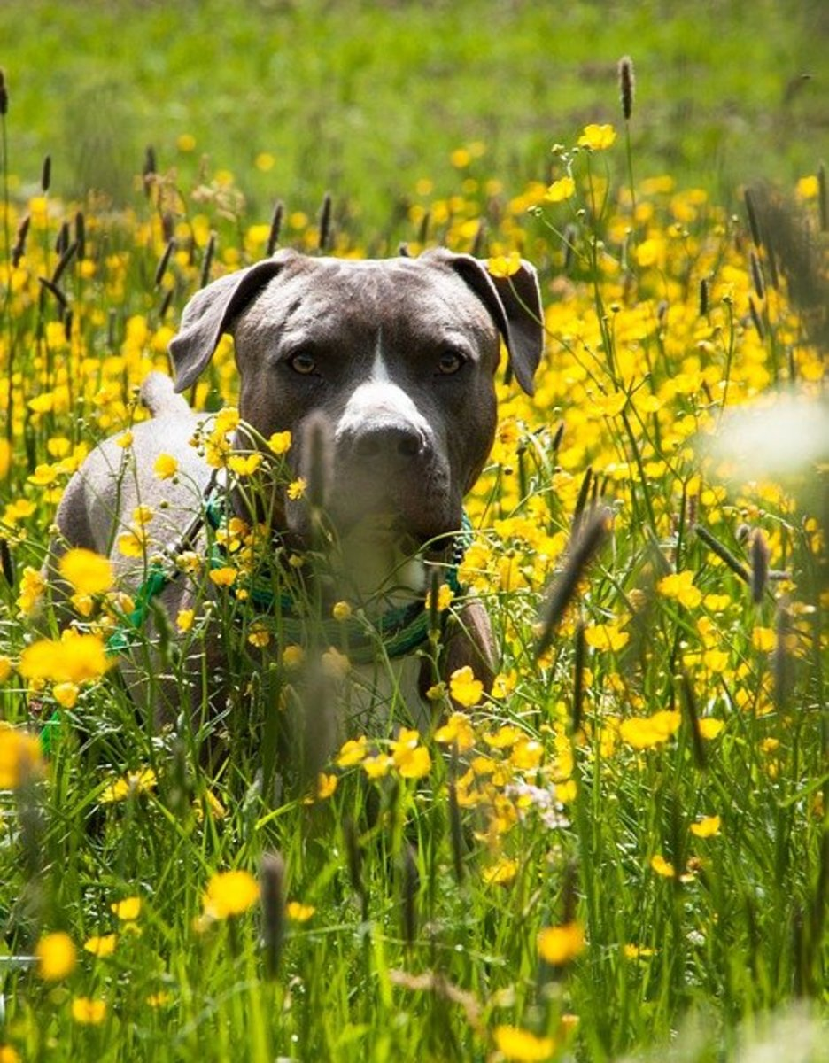 Pitbull in flowers