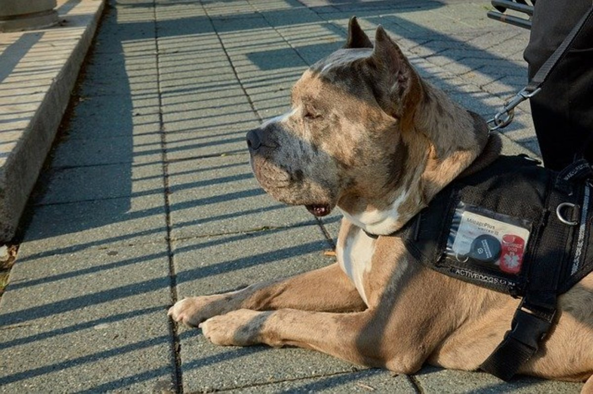 Pitbull service dog