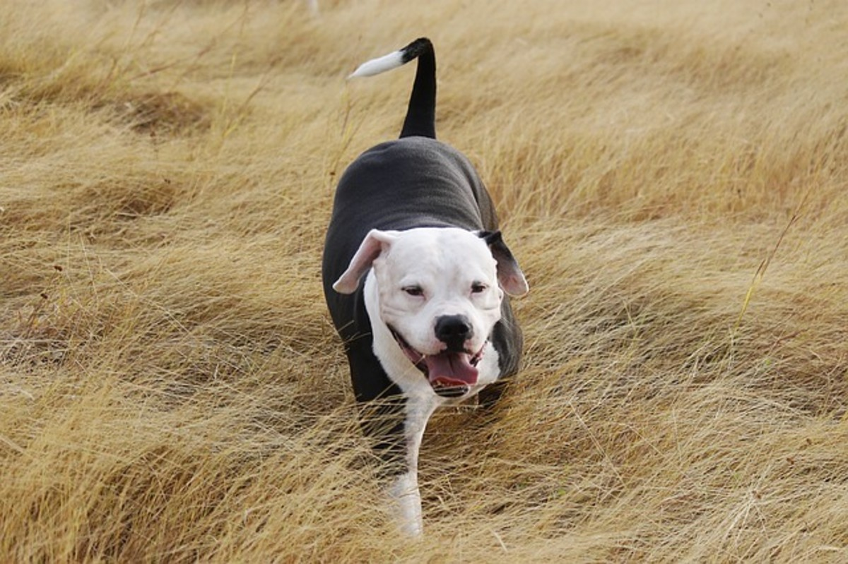 Pitbull walking through grass