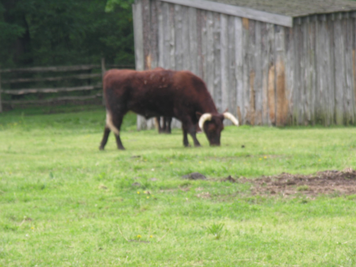 One of the Livestock at Mount Vernon. August 2013.