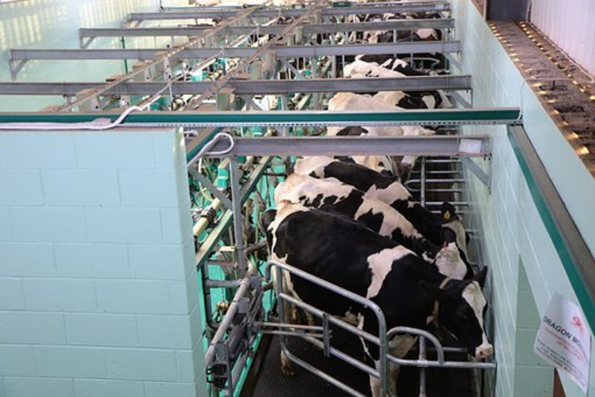 dairy-farming-in-wisconsin-part-2-milking-a-herd-of-cows