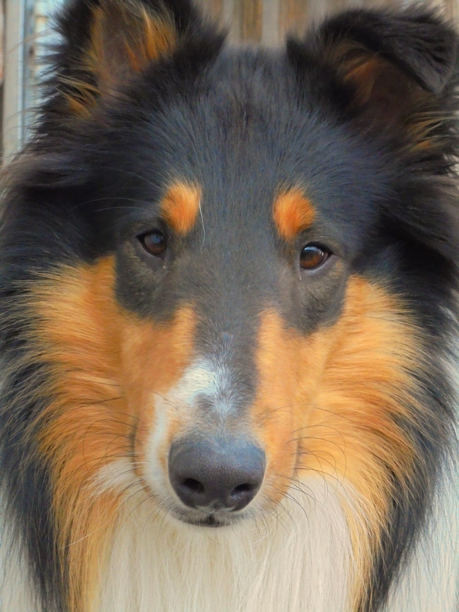 Collies: A Breed Apart