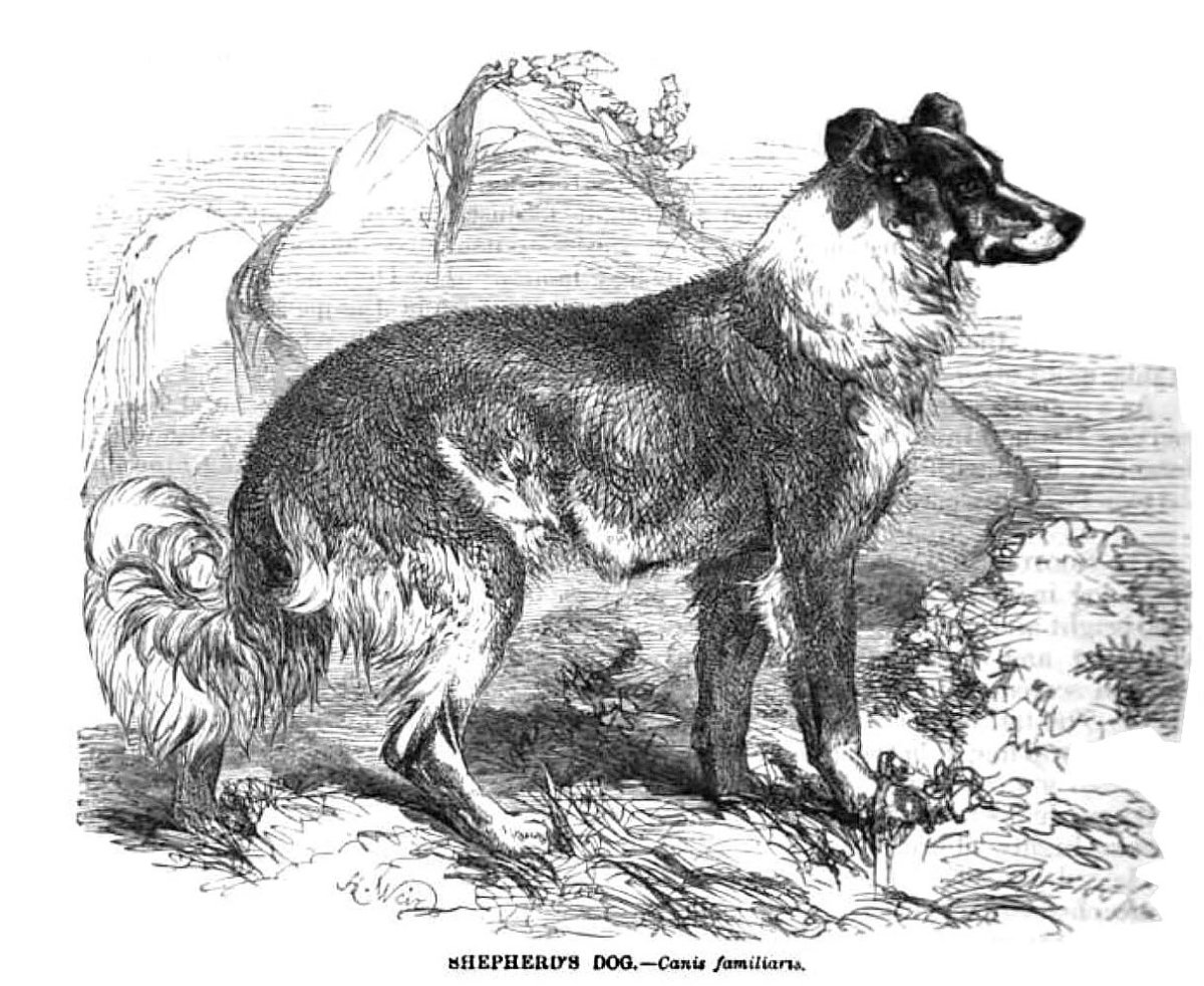 Earliest Known Illustration of a Collie Dog: 'Shepherd's Dog' by Thomas Bewick - 1807