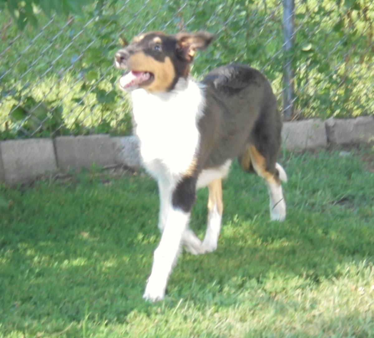 Our Collie Grace as a Puppy