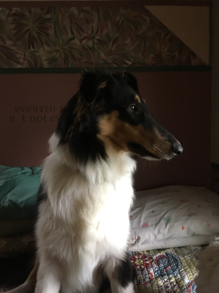 My Collie: Gracie Girl