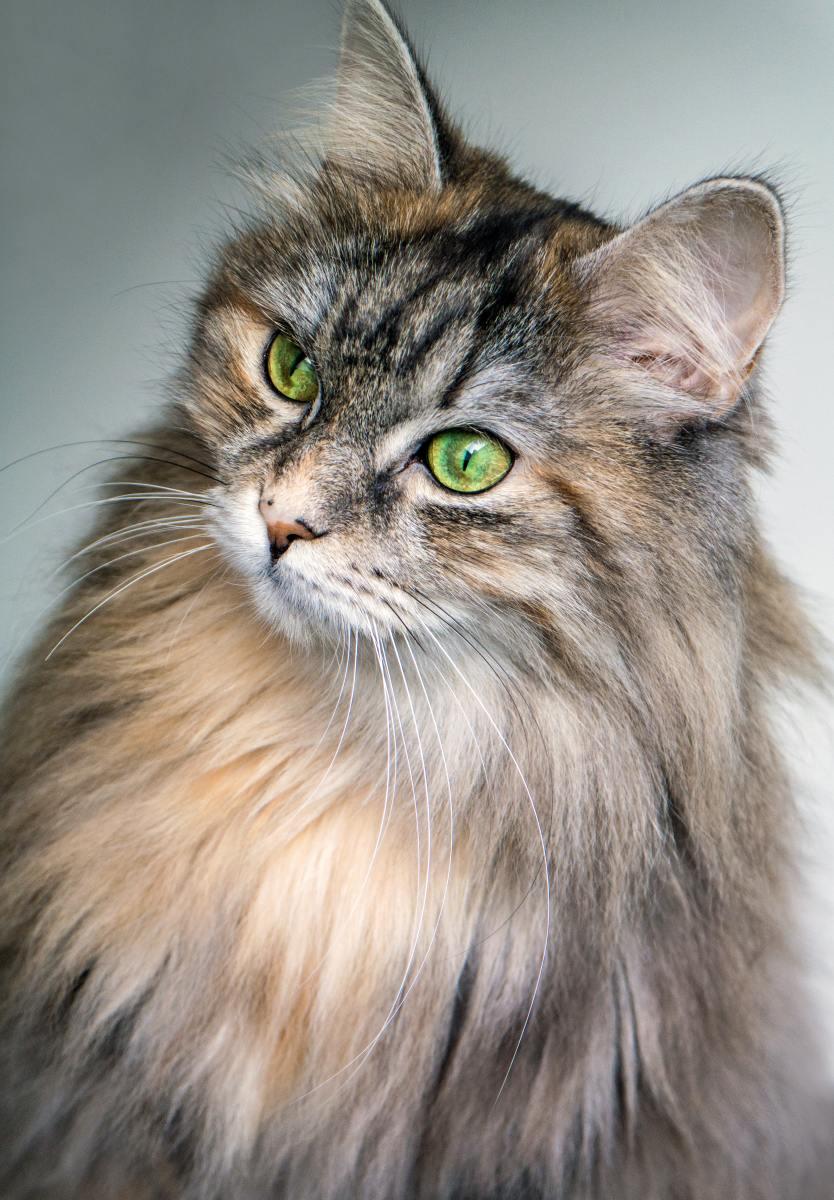 Striped cats often sport green eyes.