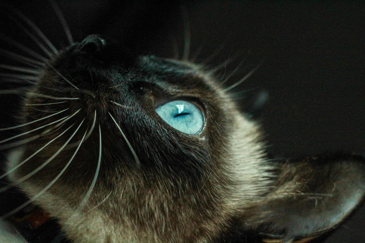 Siamese cats are known for their stunning blue eyes.