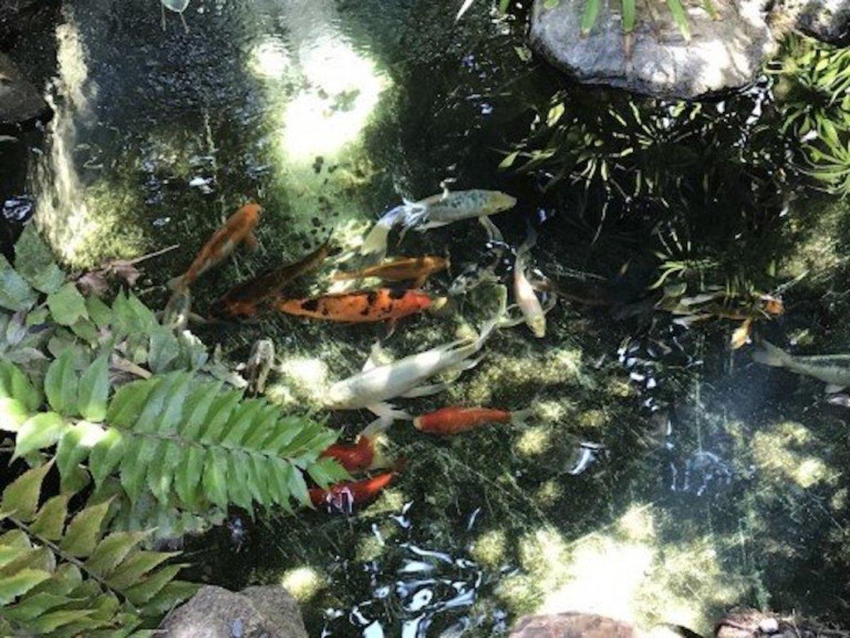 Fish in Pond at Encinitas