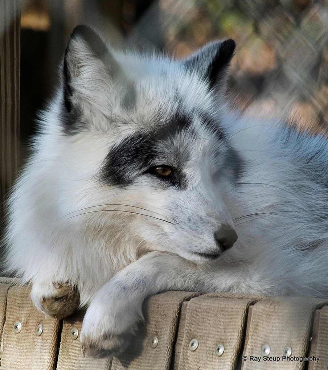 have-you-seen-canadian-marble-foxes