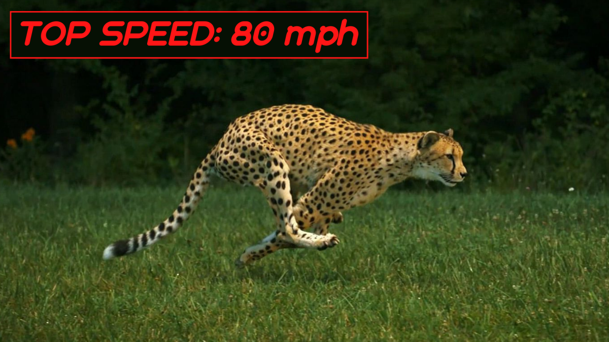 Cheetahs spend more time airborne that touching the ground when running.
