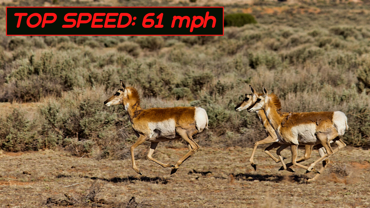 The pronghorn is not as quick as a cheetah over short distances, but over longer distances, it is unbeatable.