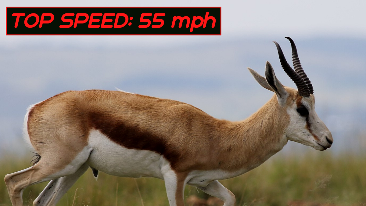 The Top 10 Fastest Land Animals In The World Owlcation Education