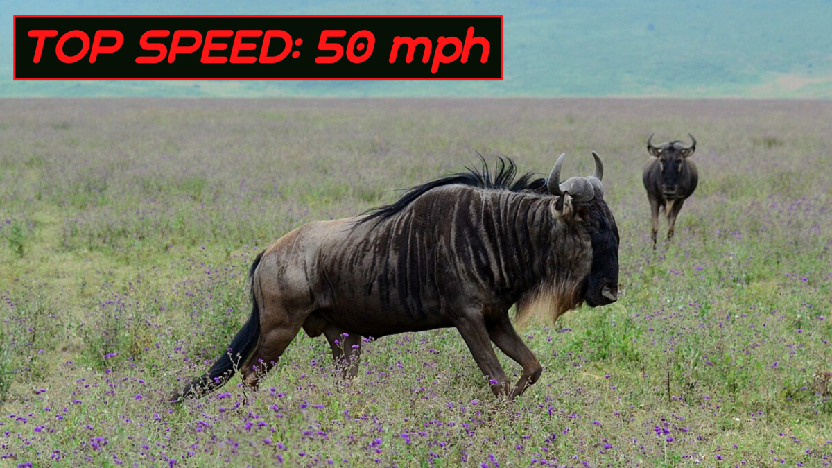 Also known as gnus, wildebeests are another type of antelope with exceptional running powers—especially over long distances.