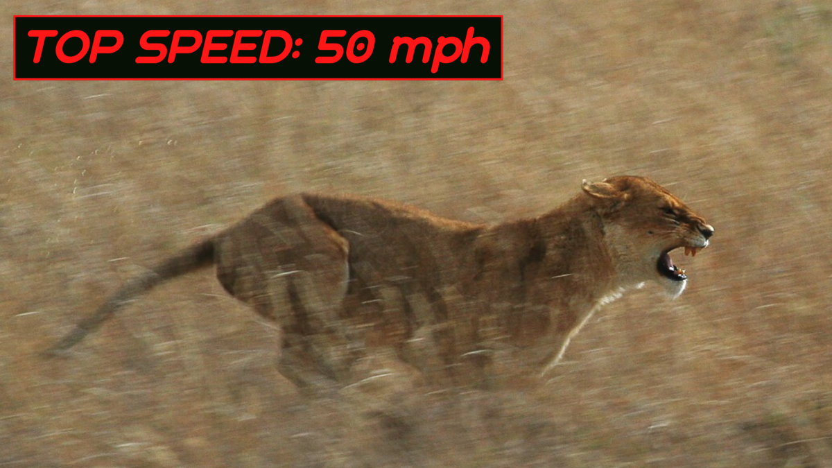 Like cheetahs, lions can only maintain fast speeds over short distances and quickly become exhausted.