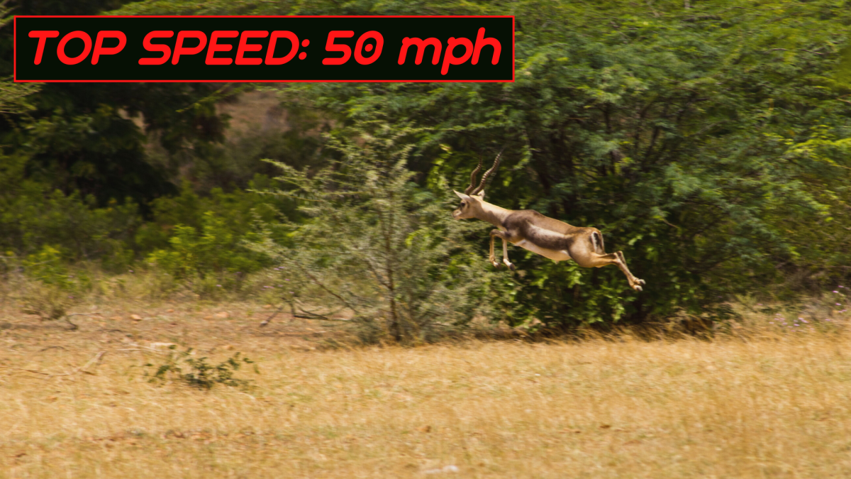 When running at top speed, each stride of the blackbuck can reach up to 22 feet.