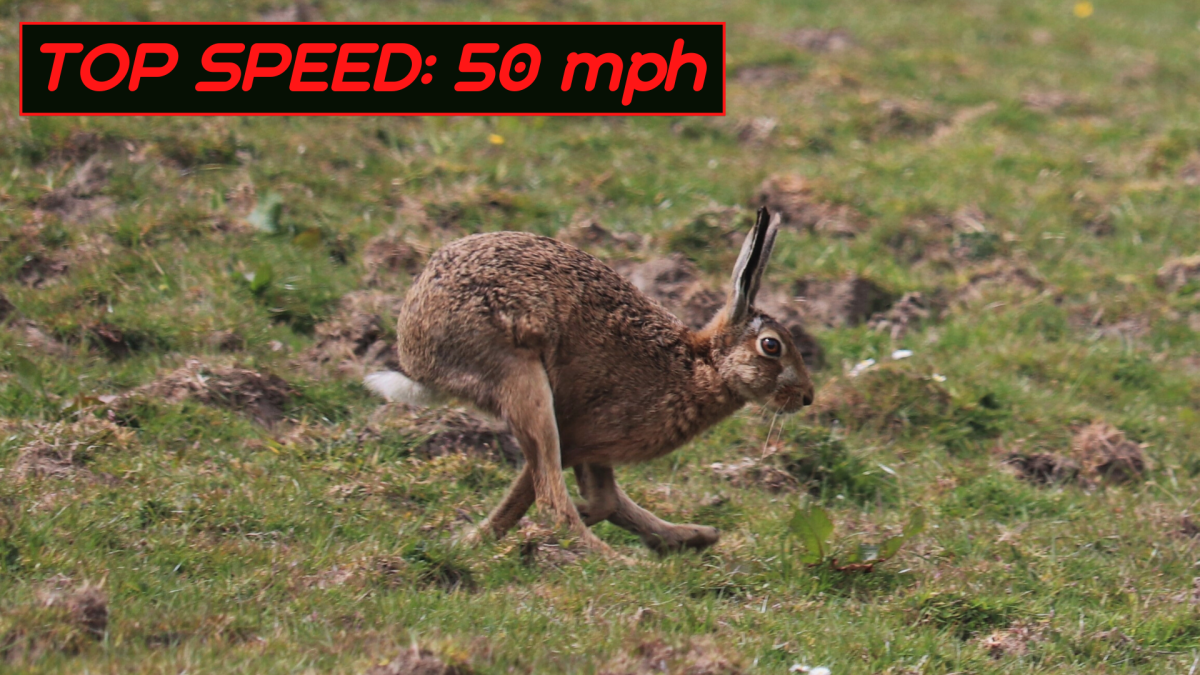 Hares are able to use their powerful hind legs to get out of danger