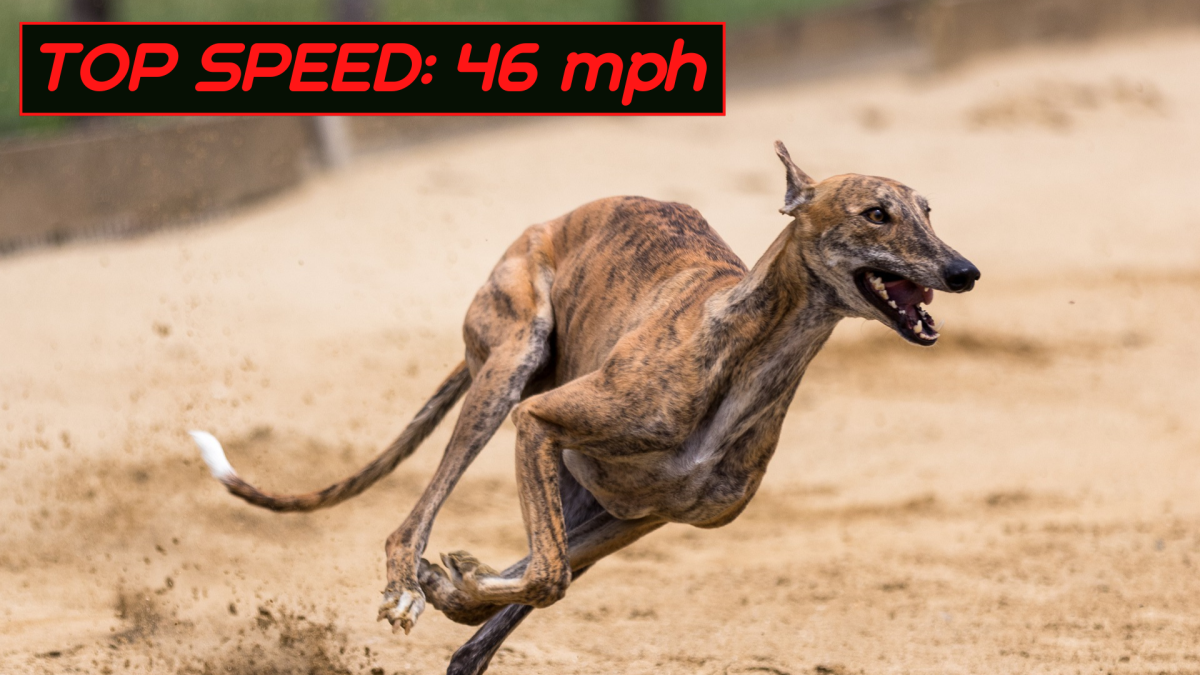 Some racing greyhounds can run up to 46 miles per hour.