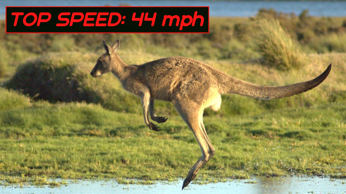 Kangaroos hop rather than running, but they can still move at up to 44 miles per hour in short bursts.