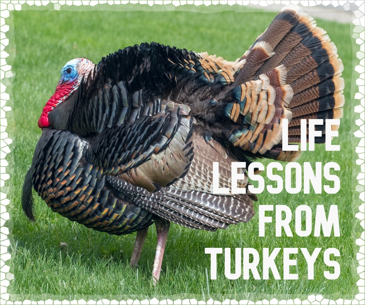 Although many people think of turkeys as stupid animals, this is untrue.  Their reputations have been unfairly earned because of an inherited neurological disorder, tetanic torticollar spasm.  It causes staring at the sky for up to a