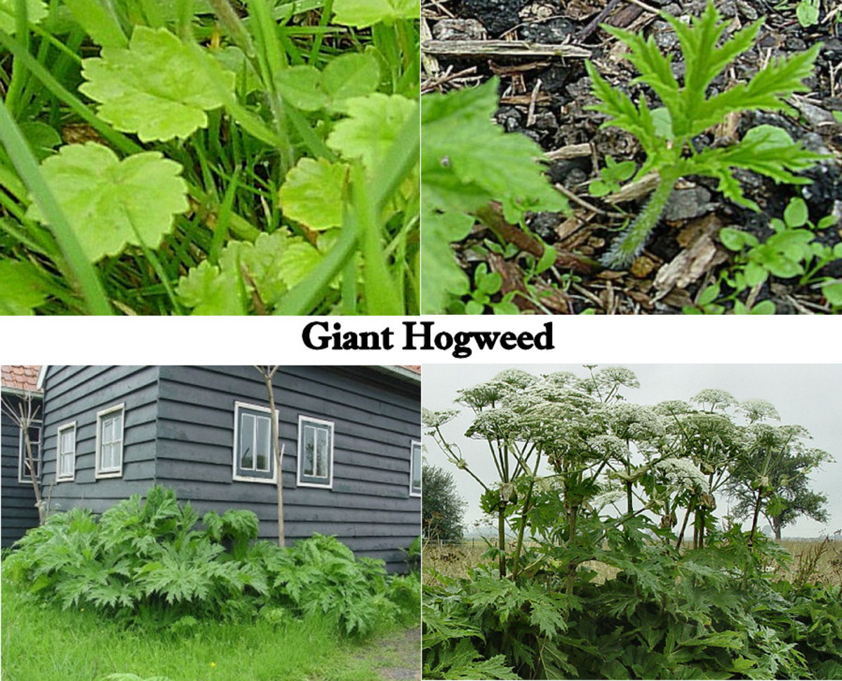 Different stages of Giant Hogweed