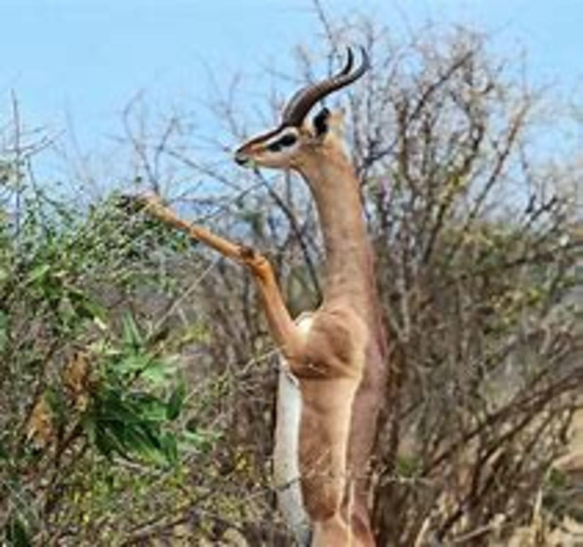 A Gerenuk looking for food