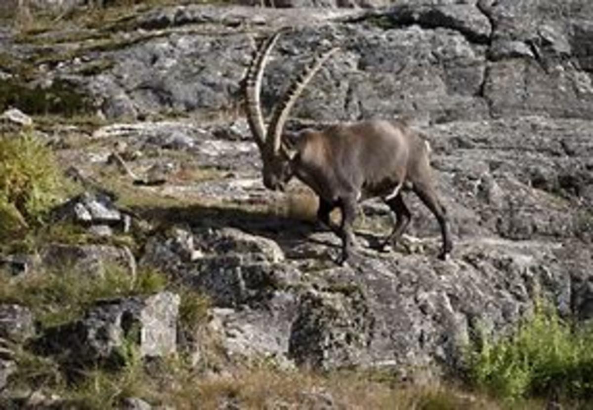 An Alpine Ibex climbing a dam