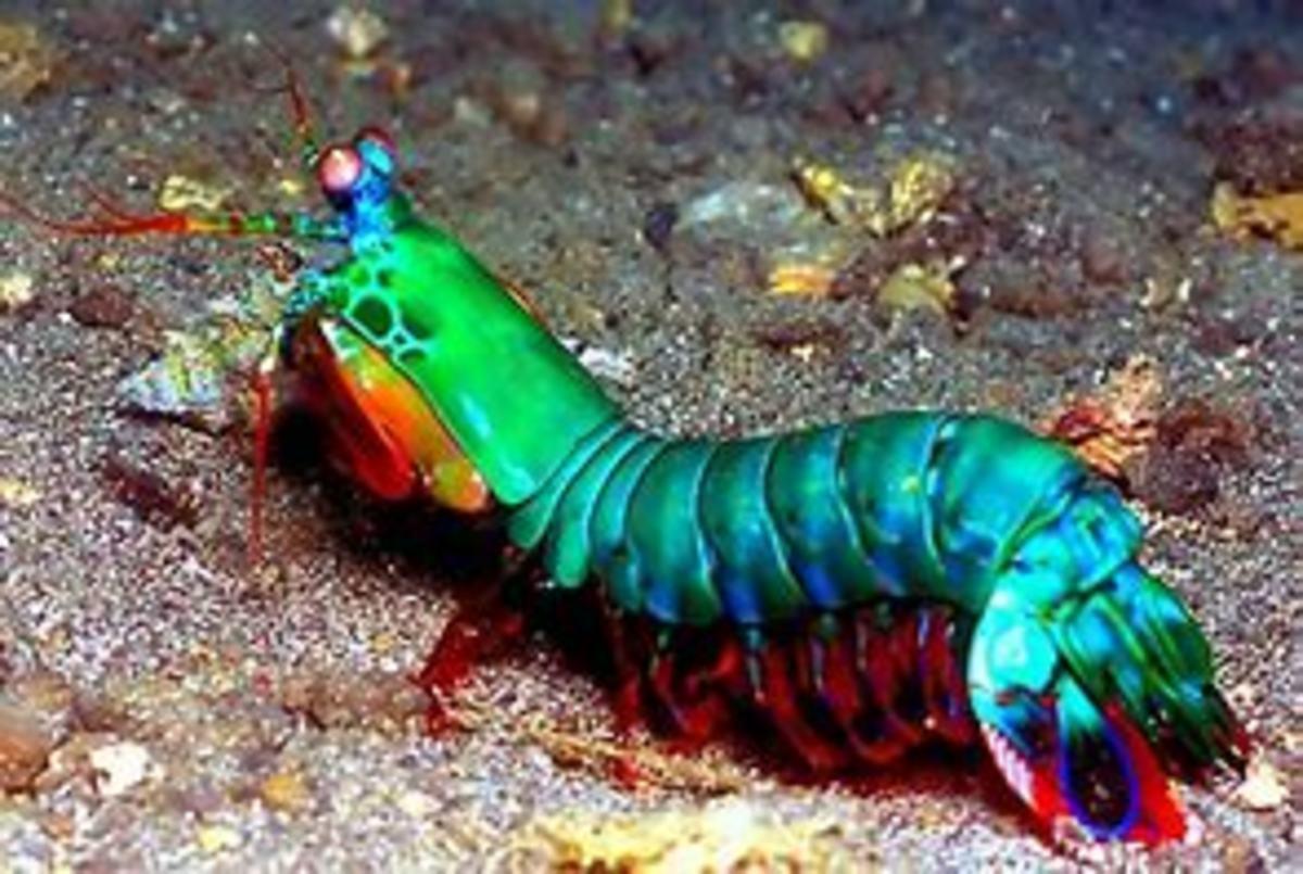 A very colorful Mantis Shrimp