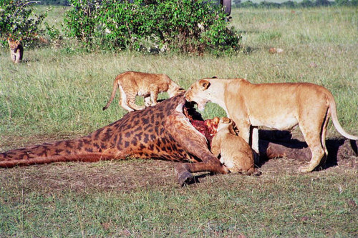 Live Feeding To Zoo Animals