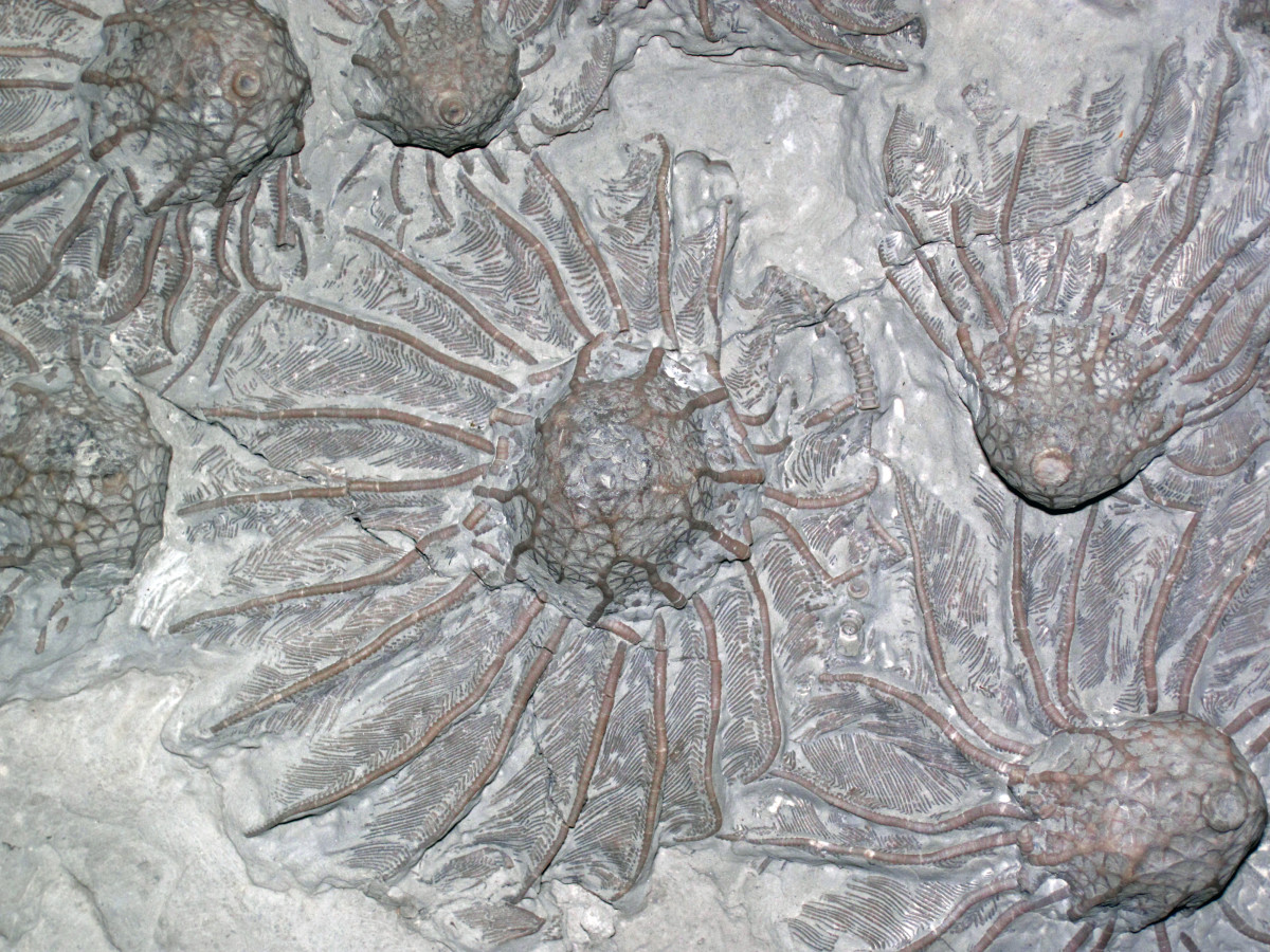 Fossils of ancient Crinoids