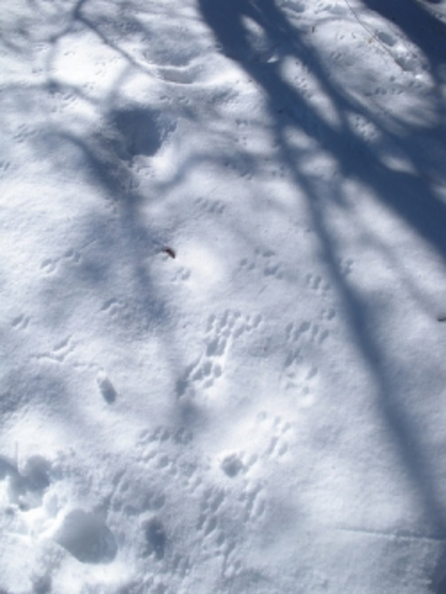 Animal Tracks in the Snow Lake Tahoe
