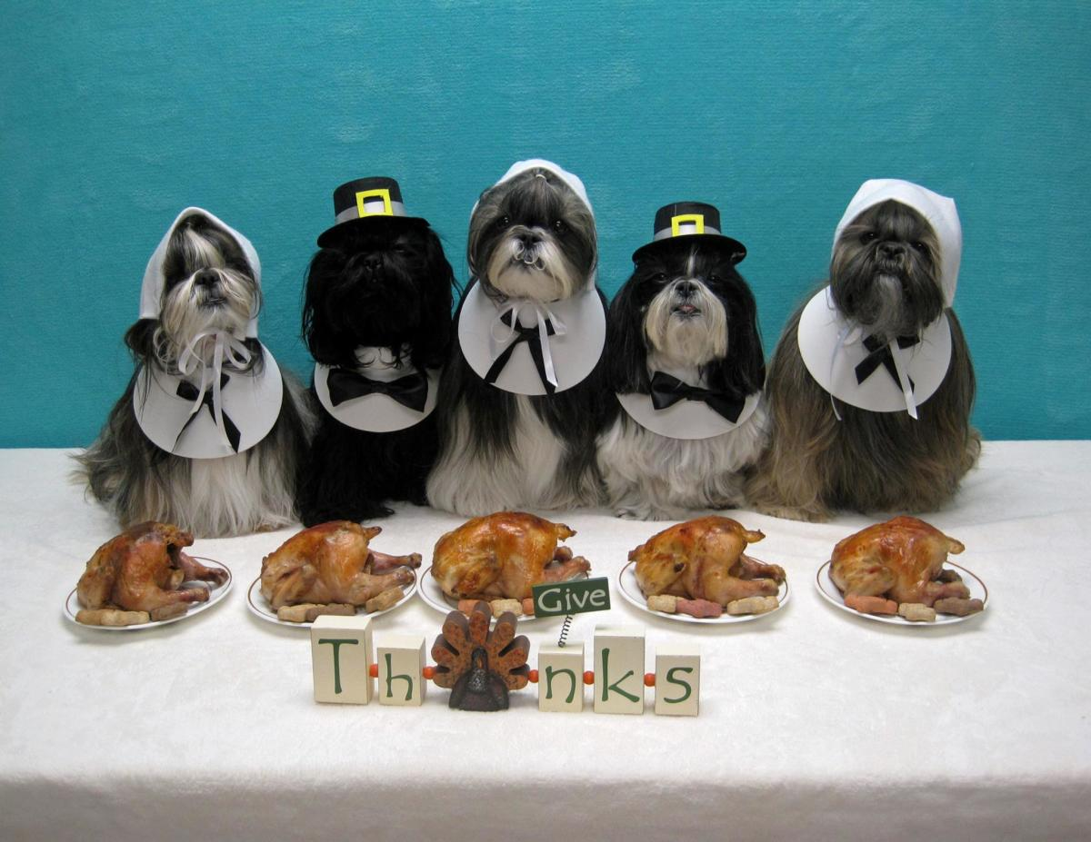 Fun image: Shih Tzu doggies enjoying Thanksgiving