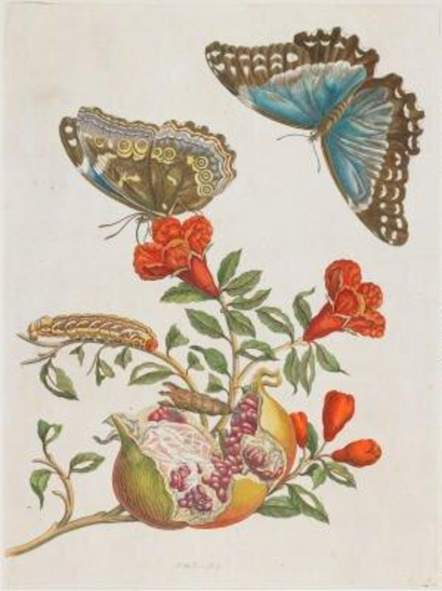 Illuminated Copper engraving from Metamorphosis insectorum Surinamensium, Plate IX. Maria Sibylla Merian, 1705