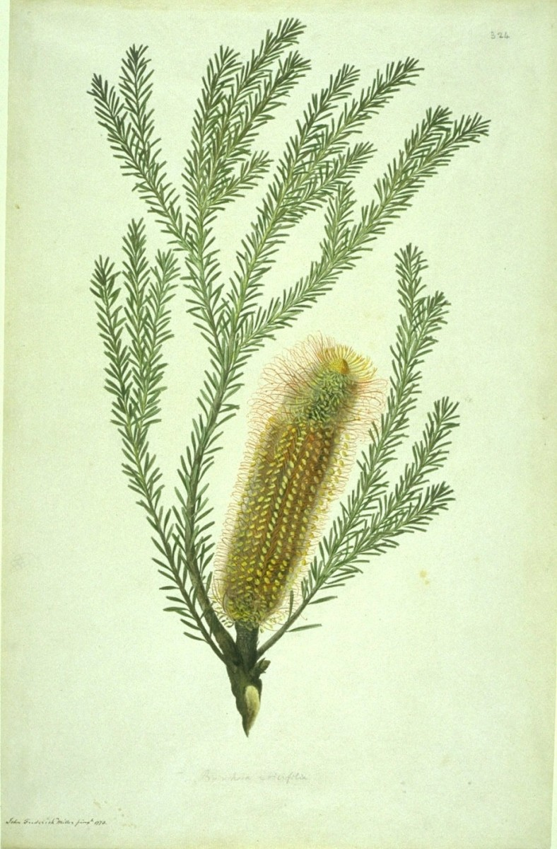 Banksia ericifolia (1773) By Sydney Parkinson and John Frederick Miller.  Sydney Parkinson, Sir Joseph Banks' botanical artist who was present when the Banksia genus was first collected at Botany Bay, Australia.